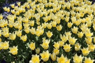 Botanischer Garten München Tulpen 6