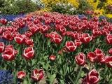 Botanischer Garten München Tulpen 2