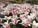 Botanischer Garten München Tulpen 3