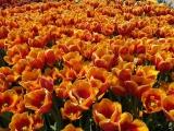 Botanischer Garten München Tulpen 4