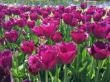 Botanischer Garten München Tulpen 7