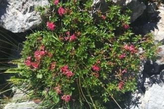 Pilatus-Alpenrosen
