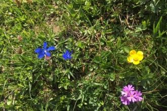Frühlinsenzian-Berghanenfuss-