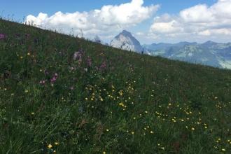 Stoos-Klingen-Fronalpstock-Flora-1
