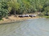 Nildpferde
