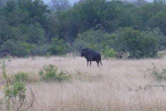 Krüger-Nationalpark-Büffel