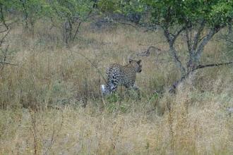 Krüger-Nationalpark-Leopard