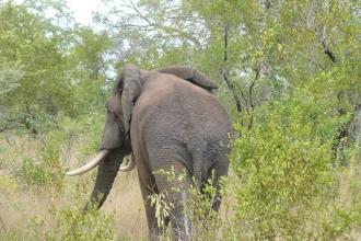 Krüger-Nationalpark-Elefant