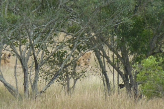 Krüger-Nationalpark-Löwin