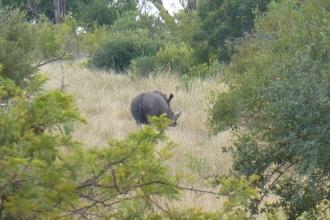 Krüger-Nationalpark-Nashorn