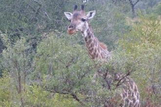 Krüger-Nationalpark-Giraffe