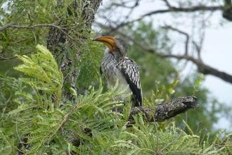 Krüger-Nationalpark-Gelbschnabeltoko
