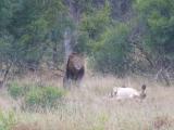 Krüger-Nationalpark-Löwen