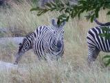 Krüger-Nationalpark-Zebra
