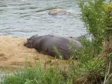 Krüger-Nationalpark-Flusspferde