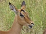Krüger-Nationalpark-Impala
