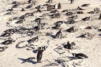 Simons Town Pinguine 9