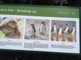 Simons Town Pinguine 5