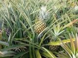 Swaziland-Ananas